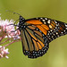 Monarch Sips from Joe Pye Weed by Jennifer Schlick