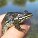 Columbia Spotted Frog - Photo (c) Keaton Wilson, some rights reserved (CC BY)