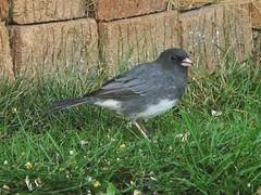 cinclidae(0.0), house sparrow(0.0), blackbird(0.0), wildlife(0.0), animal(1.0), sparrow(1.0), fauna(1.0), finch(1.0), junco(1.0), emberizidae(1.0), beak(1.0), bird(1.0),