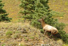 animal, deer, fauna, elk, wilderness, wildlife,