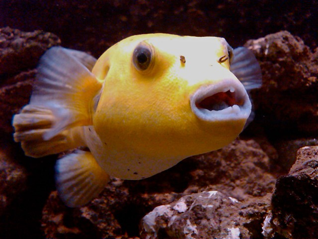 Golden dogface puffer related keywords golden dogface for Dog face puffer fish
