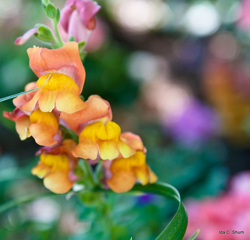flowers plant flower macro green nature nikon bokeh snapdragons snapdragon d300