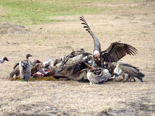 Vultures, Maasai Mara, Kenya