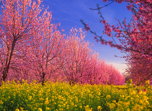 california county flowers trees spring peach orchard bloom peaches crops agriculture yuba