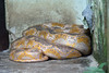 "<a href=""http://www.flickr.com/photos/mahbobyusof/4098275788/"">Photo of Python curtus by bob