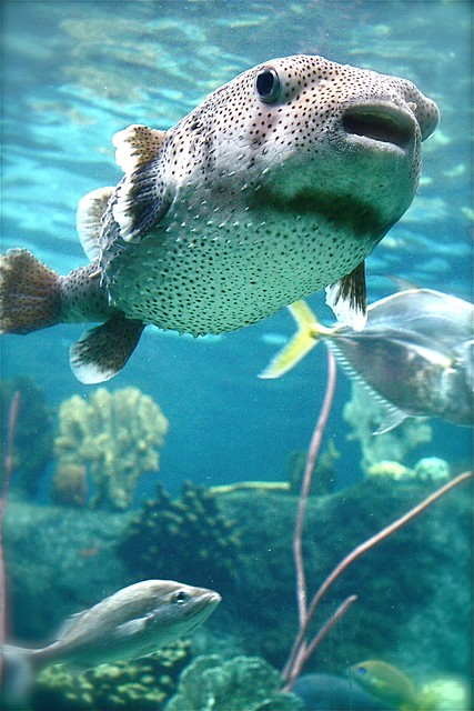 Florida tampa aquarium puffer fish flickr photo sharing for Florida freshwater fish pictures