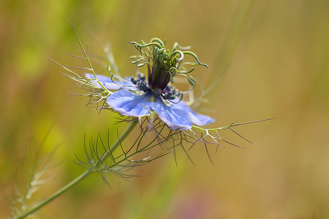 Nigelle de damas flickr photo sharing - Nigelle de damas ...