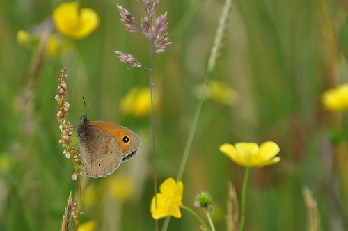 Meadow Brown in a Pennine Haymeadow