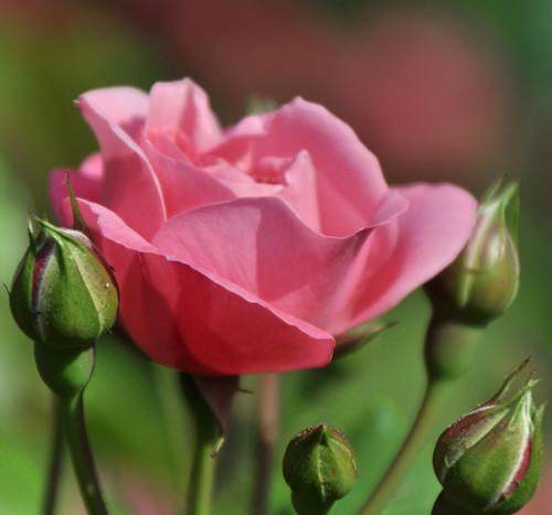 pink italy flower macro nature rose italia dof liguria genoa genova nervi oa genovanervi abigfave worldbest platinumheartaward theperfectphotographer hppt rosetodinervi awesomeblossoms dragondaggerphoto