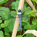 Great Blue Skimmer - Photo (c) Larry Meade, some rights reserved (CC BY-NC-SA)