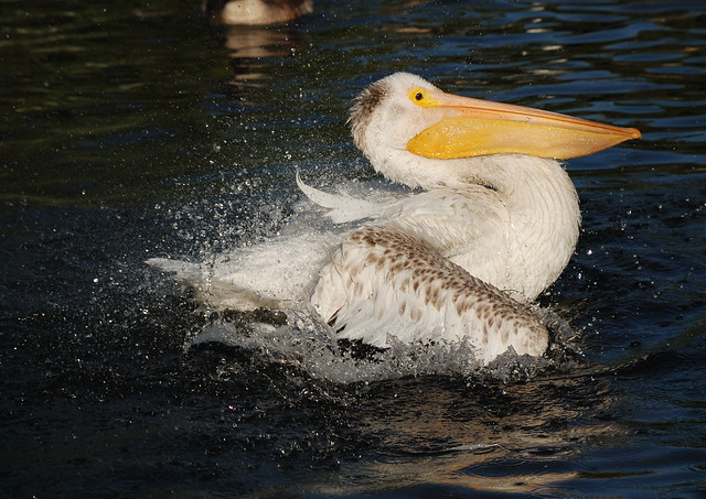 White Pelicans - Lake Merritt - Oakland, CA