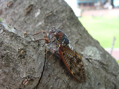 arthropod, animal, cicada, invertebrate, insect, macro photography, fauna, close-up, pest, true bugs,