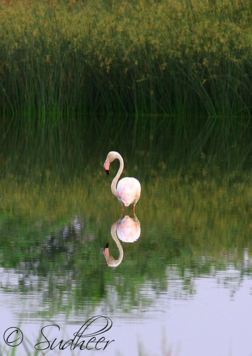 reflection bird flamingo oman muscat anawesomeshot canon55250
