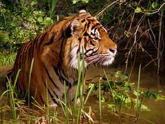 I'm a tiger, a cat of prey...