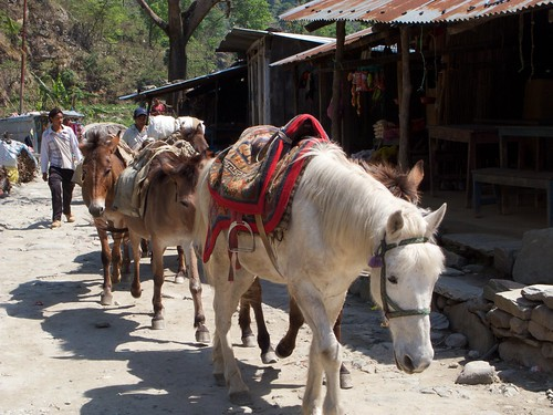 Mule train of of Nayapul