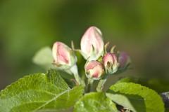 õunapuu õied