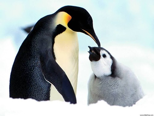 Mother_Penguin_7777_1024_768