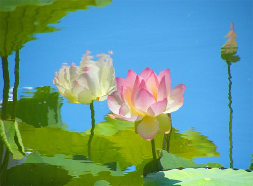 Lotus Reflection - Nature's Impressionist Art