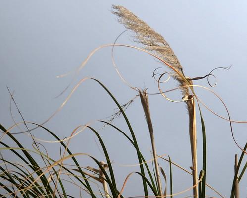 grass wind erba gras pampasgrass pampas herbe hierba cortaderiaselloana