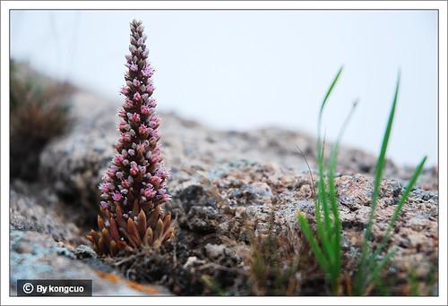 内蒙古植物照片-瓦松,景天科瓦松属