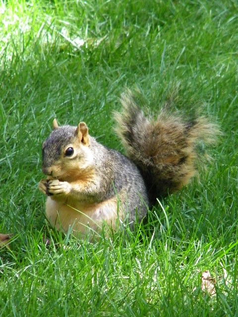 81/365/446 (August 31, 2009) - Squirrel Eating at the University of Michigan