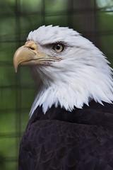 Toronto Zoo-eagle