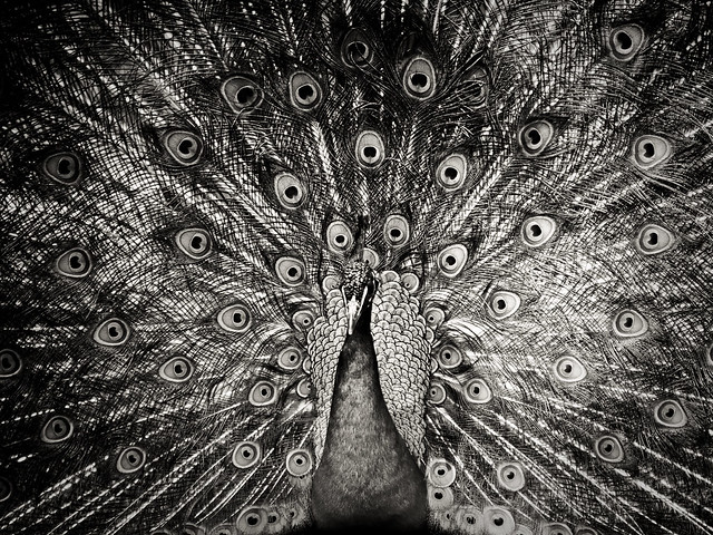 Peacock black and white picture - photo#19