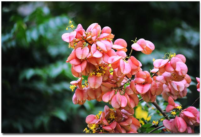 灯笼树   台湾栾树