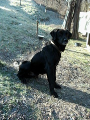 cane corso(0.0), pug(0.0), labrador retriever(1.0), animal(1.0), dog(1.0), pet(1.0), mammal(1.0), patterdale terrier(1.0),