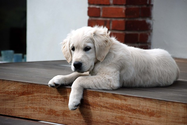 Sweet Golden Retriever Puppy Resting