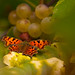 Butterfly on my grapes