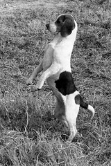 animal sports(0.0), whippet(0.0), animal(1.0), hound(1.0), dog(1.0), pet(1.0), mammal(1.0), monochrome photography(1.0), pointer(1.0), black-and-white(1.0), terrier(1.0),