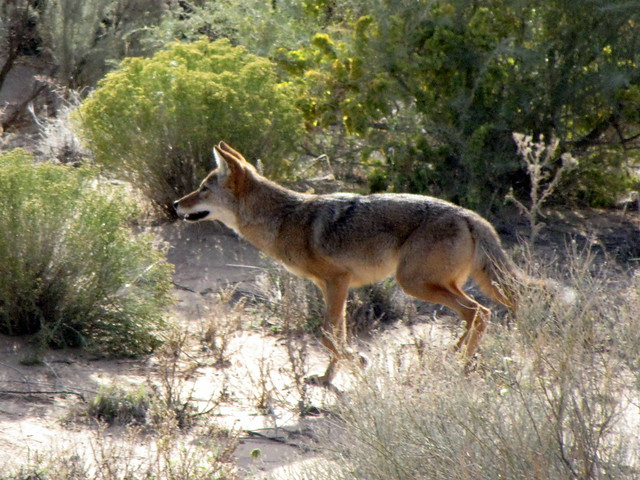 coyotes in the foothills albuquerque rio rancho house neighborhood living in new mexico. Black Bedroom Furniture Sets. Home Design Ideas