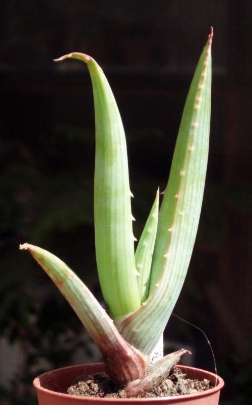 Aloe comosa 4157402141_6850a6c978_o