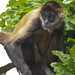 Central American Spider Monkey - Photo (c) Brian Gratwicke, some rights reserved (CC BY)