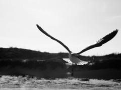 cc sea gull
