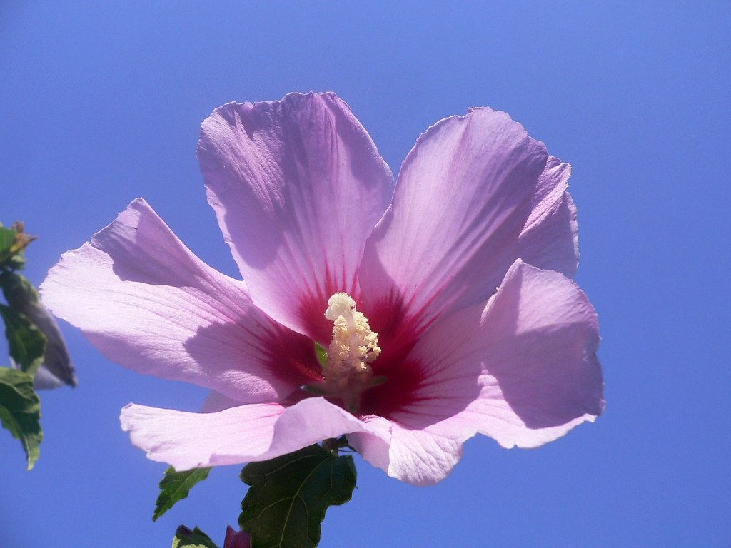 The National Flower Of South Korea Hibiscus Syriacus Flickr Photo Sharing