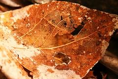 Bronzed Leaf 2