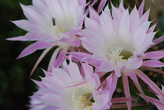 moonlight cactus(0.0), epiphyllum anguliger(0.0), cactus family(0.0), caryophyllales(0.0), flower(1.0), plant(1.0), flora(1.0), epiphyllum oxypetalum(1.0), epiphyllum crenatum(1.0), pink(1.0), petal(1.0),