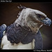 Harpy eagle, Belize Zoo (5)