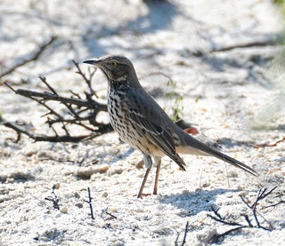 Sage Thrasher . Sandy Hook New Jersey