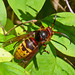 European hornet - Photo (c) Larry Meade, some rights reserved (CC BY-NC-SA)