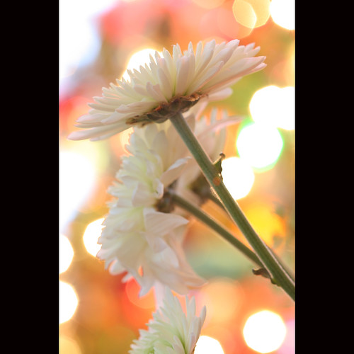california christmas white flower macro fleur closeup canon lights blossom bokeh 100mm bloom alamo aster christmastreelights johnmorgan