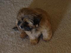 dog breed, animal, dog, cavachon, schnoodle, pet, tibetan spaniel, havanese, lhasa apso, morkie, chinese imperial dog, pekingese, cavapoo, shih tzu, carnivoran,