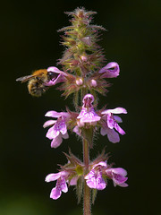 Marsh Woundwort : Stachys palustris