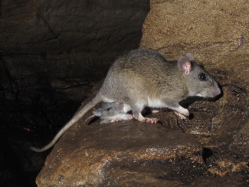 Female Allegheny woodrat with two babies by Alan Cressler