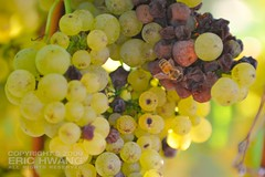 Raisined Chardonnay grapes with a honeybee