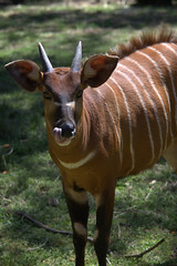 animal, mammal, horn, fauna, kudu, bongo, wildlife,