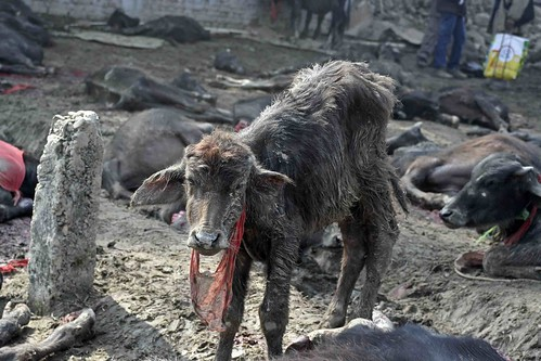 Fermiamo il sacrificio - Il massacro di Gadhimai