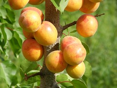 evergreen, branch, common persimmon, fruit,